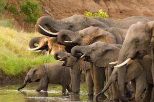 Herd drinking