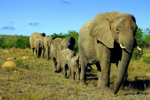 elephant herd march