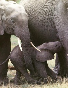 AfricanElephants_Mom_Nursing_baby