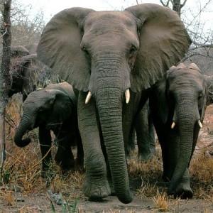 afwld007-AfricanElephants-MomNBabies-Walking_in_lineup