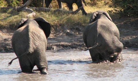 elephant move amble