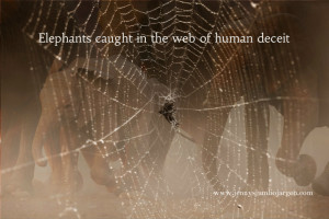 watermarked....elephants caught in the web of human deceit