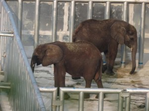 elephant calves in China
